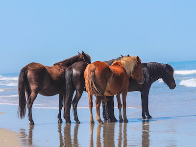 Horses on the beach in Corolla, NC