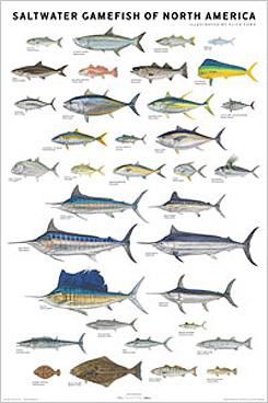 saltwater_gamefish_outer_banks_north_carolina