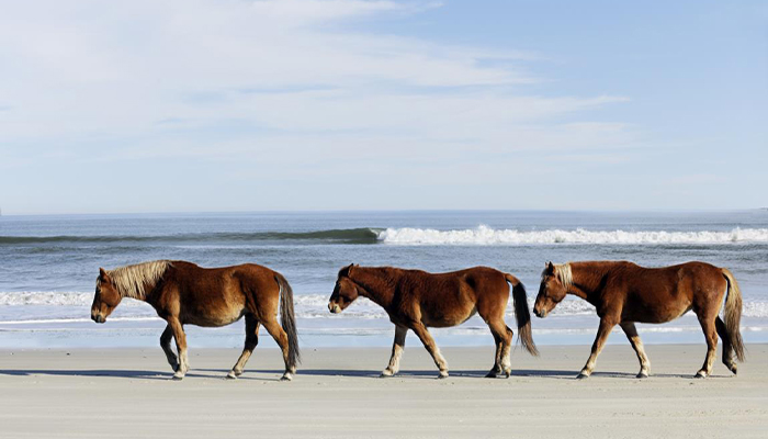 couples trip to the obx - corolla wild horses