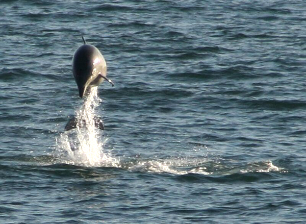 Outer Banks Dolphin