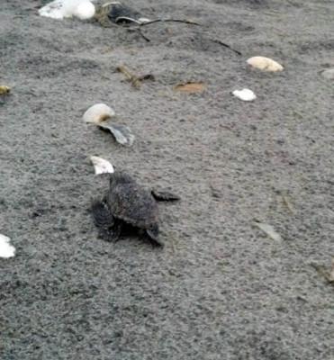 baby-sea-turtle-crawling-towards-ocean