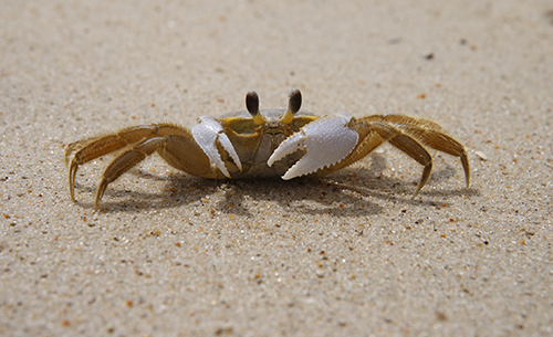 obx ghost crab hunting at night
