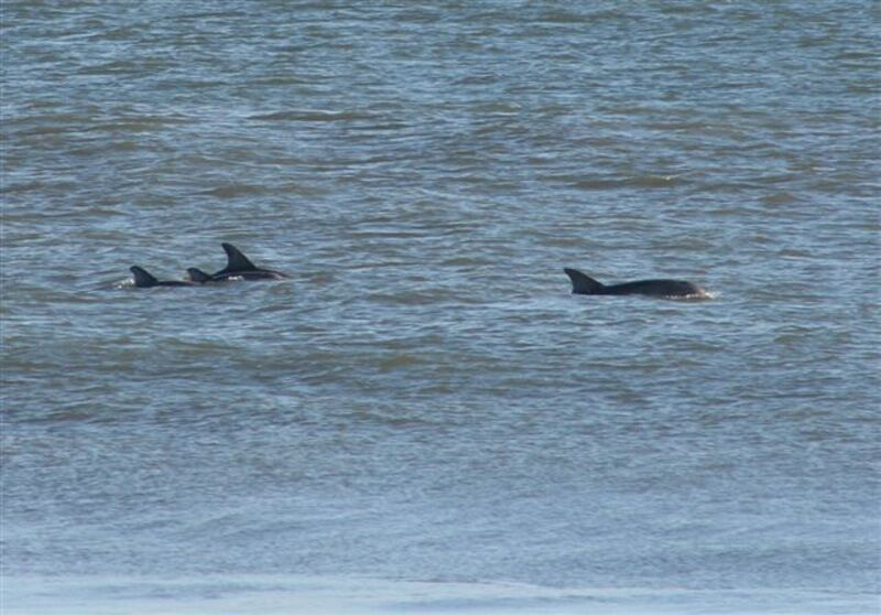 Outer Banks Dolphins