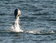 Dolphins in the Outer Banks