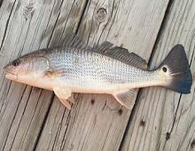 Outer Banks Red Drum Fishing