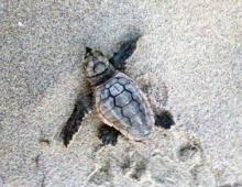 Sea Turtle Watch at Pea Island National Wildlife Refuge