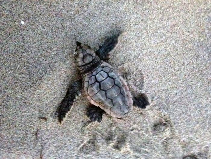 Sea Turtle Watch at Pea Island National Wildlife Refuge